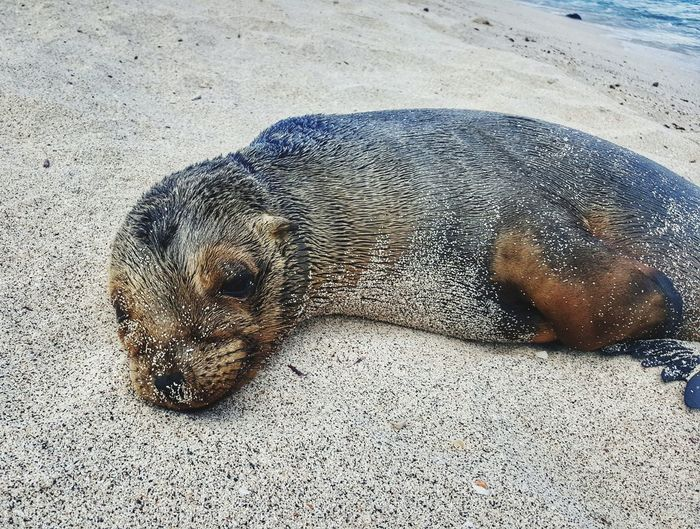 Sand Beach Animal Themes One Animal Nature Animals In The Wild No People Day Animal Wildlife Outdoors Close-up Beauty In Nature Sea Lion Natural Habitat