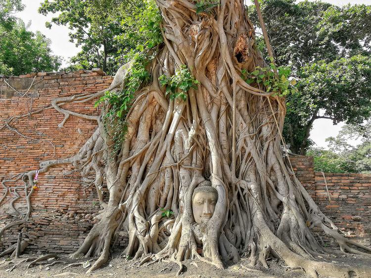 วัดมหาธาตุ ตั้งอยู่เชิงสะพานป่าถ่าน ทางทิศตะวันออกของวัดพระศรีสรรเพชญ์ มีสิ่งที่โดดเด่น คือ เศียรพระพุทธรูปกว่าร้อยปีใน รากไม้ โดยเศียรพระพุทธรูป เป็นพระพุทธรูปหินทรายเหลือแค่ส่วนเศียร สำหรับองค์พระนั้นหายไป และเป็นเศียรพระพุทธรูปเป็น ศิลปะอยุธยา วางอยู่ในรากโพธิ์ข้างวิหาร คาดว่าเศียรพระพุทธรูปนี้จะหล่นลงมาอยู่ที่โคนต้นไม้ในสมัยเสียกรุงจนรากไม้ขึ้นปกคลุม ทำให้มีความ งดงามแปลกตา จนเลื่องลือกลายเป็นสิ่งมหัศจรรย์ ทำให้วัดแห่งนี้กลายเป็นวัดที่มีชื่อเสียงและ เป็นที่รู้จักทั้งชาวไทย และชาวต่างชาติ พงศาวดารบางฉบับ กล่าวว่าวัดนี้สร้างในสมัยสมเด็ จพระบรมราชาธิราชที่ 1 ต่อมาสมเด็จพระราเมศวรโปรดเกล้าฯให้อัญเชิญ พระบรมสารีริกธาตุ มาบรรจุไว้ใต้ฐานพระปรางค์ประธาน ของวัดเมื่อพ.ศ.1927 พระปรางค์วัดมหาธาตุถือเป็นปรางค์ที่สร้างในระยะ แรก ของสมัยอยุธยาซึ่งได้รับอิทธิพลของปรางค์ขอมปนอยู่ ชั้นล่างก่อสร้างด้วย ศิลาแลงแต่ที่เสริมใหม่ ตอนบนเป็นอิฐถือปูน สมเด็จพระเจ้าปราสาททองได้ทรงปฏิสังขรณ์พระปรางค์ใหม่ โดยเสริมให้สูงกว่าเดิมแต่ขณะนี้ ยอดพังลงมาเหลือเพียงชั้นมุขเท่านั้น จึงเป็นที่น่าเสียดายเพราะมีหลักฐานว่าเป็นปรางค์ที่มีขนาดใหญ่ มากและก่อสร้าง อย่างวิจิตรสวยงามมากเมื่อพ.ศ. 2499 กรมศิลปากรได้ขุดแต่งพระปรางค์แห่งนี้ พบของ โบราณหลายชิ้นที่สำคัญ คือ ผอบศิลาภายในมีสถูปซ้อนกัน 7 ชั้น แบ่งออกเป็น ชิน เงินนาก ไม้จันทร์แดง แก้วโกเมนและทองคำ ชั้นในบรรจุพระบรมสารีริกธาตุและเครื่องประดับอันมีค่า ปัจจุบันพระบรมสารีริกธาตุ นำไปประดิษฐานไว้ที่ี่พิพิธภัณฑ์สถานแห่งชาติเจ้าสามพระยา Architecture Art And Craft Built Structure Creativity Day Growth Human Representation Low Angle View Male Likeness Nature No People Outdoors Representation Root Sculpture Statue Tree Tree Trunk Trunk ต้นไทร ต้นไม้ใหญ่ พระพุธรูป วัด วัดมหาธาตุ อยุธยา