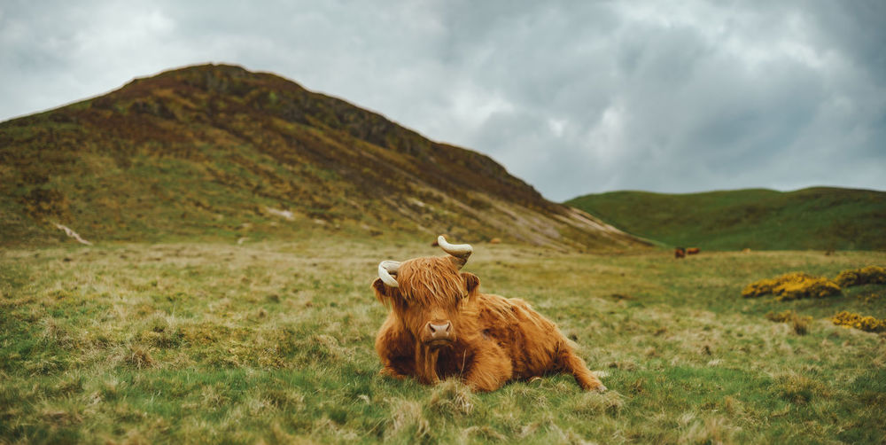 Front view of cute highland cow in front of a grassy hill