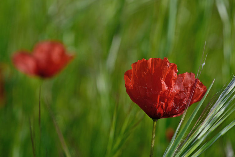 close-up of poppy flower against the grassy and blooming meadow background Poppy Flower Red Green Red And Green Meadow Outdoors Plant Flowering Plant Beauty In Nature Freshness Close-up Nature Inflorescence Petal Focus On Foreground EyeEmNewHere EyeEm Nature Lover EyeEm Best Edits