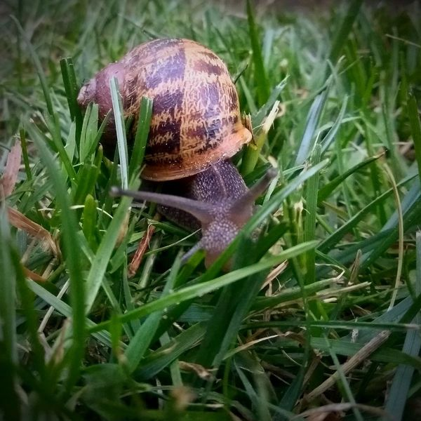 Snail making its way over the grass. One Animal Animal Themes Animals In The Wild Grass Animal Wildlife Day Outdoors No People Nature Close-up Snail Snail🐌 Snails Snail Photography Snail Shell Snails Pace Snail Closeup EyeEm Selects Pet Portraits Food Stories
