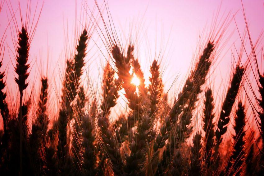 朝チャリ 朝焼け 朝日 麦畑 サイクリング 麦 朝 夜明け グラデーション Morning Morning Sun Sunrise Morning Glory Wheat Field Wheat Gradation Gradationcolor Pink Pink Color EyeEm Nature Lover EyeEm Best Shots Nature Beauty In Nature Sky Graduation