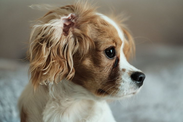 Loyalty Profile View EyeEm Selects Blond Hair Pets Portrait Dog Puppy Cute Close-up Cavalier King Charles Spaniel Lap Dog At Home