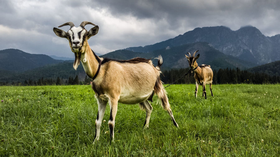 Goats Standing On Field