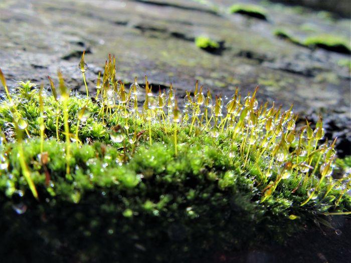 Dewy moss