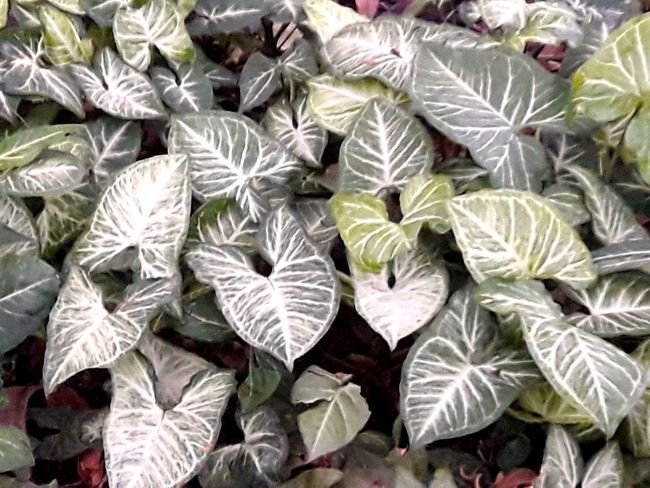 Green Plant Climbing Plant Close-up Day Leaf Leaf Pattern Leaf Structure No People Outdoors Tropical Tropical Climbing Plant Green Leaves Pattern As Background Tropical Green Plant Under Coconut Tree As Background