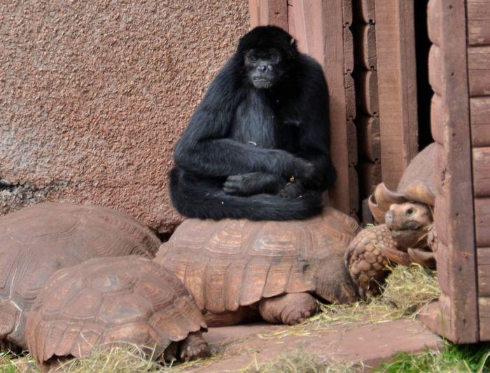 Mammal Ape