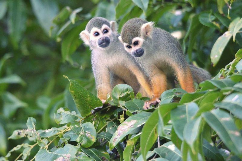 Guyane îlet La Mère Feuillage Nature Animal Faune Iles  Saïmiri Primate NikonD3100