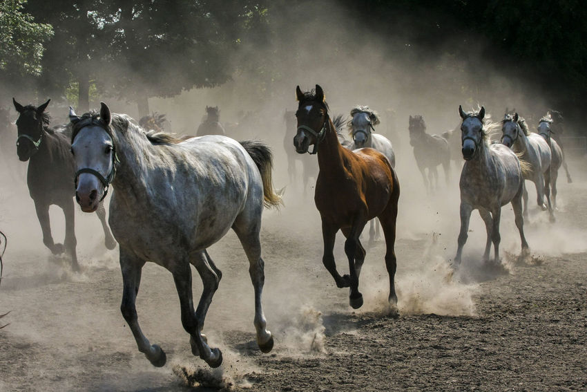 Animal Themes Arabian Horses Domestic Animals Gallop Galloping Herd Of Horses Horse Horse Stud Horses Mammal Nature No People Outdoors Togetherness