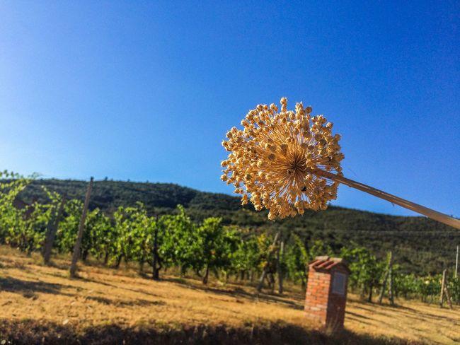 The Vineyards!