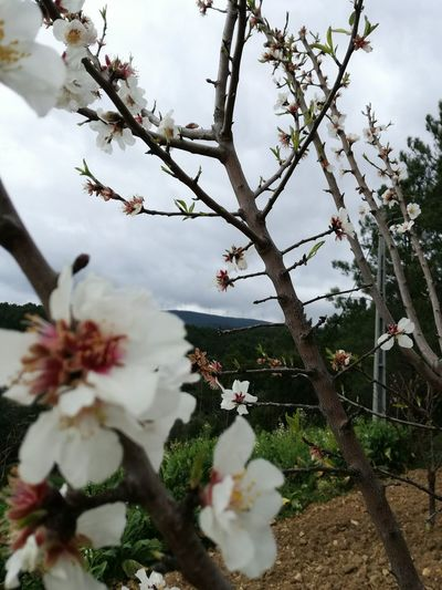 Growth Flower Nature Plant Tree Branch Beauty In Nature Blossom No People Outdoors Springtime Fragility Day Flower Head First Eyeem Photo First Eyem Photograpy Almond Tree Close-up Sky Freshness First Eyem Photo Beauty