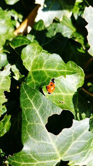 Ivy Ladybug Labybird Garden Nature
