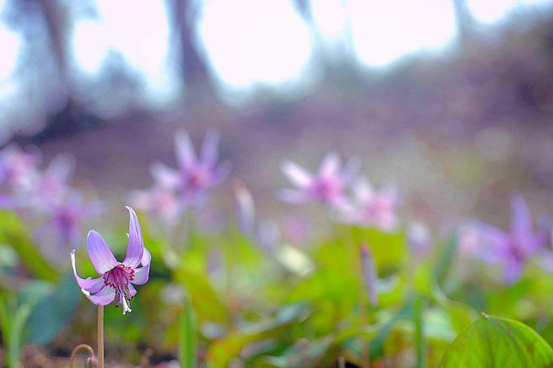 カタクリ群生 EyeEm Flower Bokeh 春 Spring Flowers Flower Collection Spring Colours Colors Spring Time EyeEm Nature Lover Japan かたくり Bokeheffect 山野草 Depth Of Field