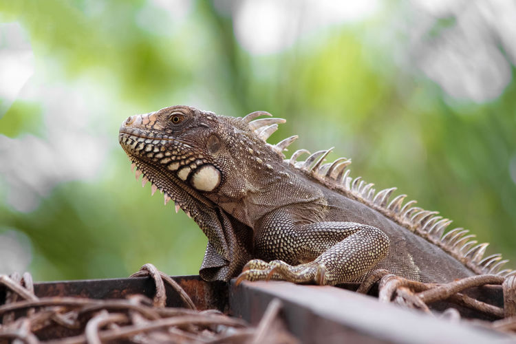 Reptile Animal Lizard Animal Themes One Animal Animals In The Wild Animal Wildlife Vertebrate Iguana Bearded Dragon No People Close-up Focus On Foreground Day Selective Focus Nature Side View Animal Body Part Looking Outdoors Animal Scale Animal Head