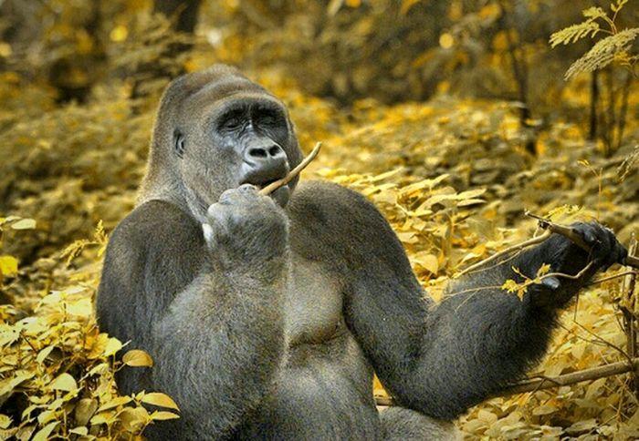 Playing with a stick Gorilla Mamalia Animal Photography EyeEm Animal Lover Animal Portrait Animal Watching
