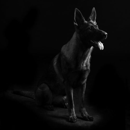 Portrait of a young female mullticolored German Shepherd dog in black background One Animal Mammal Domestic Animals Indoors  Pets Domestic Looking Away Looking No People Studio Shot Vertebrate Full Length Black Background Standing Portrait Dark Side View Mouth Open Whisker German Shepherd Shepherd Shepherd Dog Watchful Vigilant