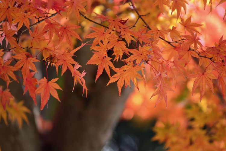 Autumn Change Leaf Maple Tree Maple Leaf Orange Color Nature Beauty In Nature Leaves Maple Branch Day Tree Outdoors Focus On Foreground No People Close-up Growth Scenics 太宰府 太宰府天満宮