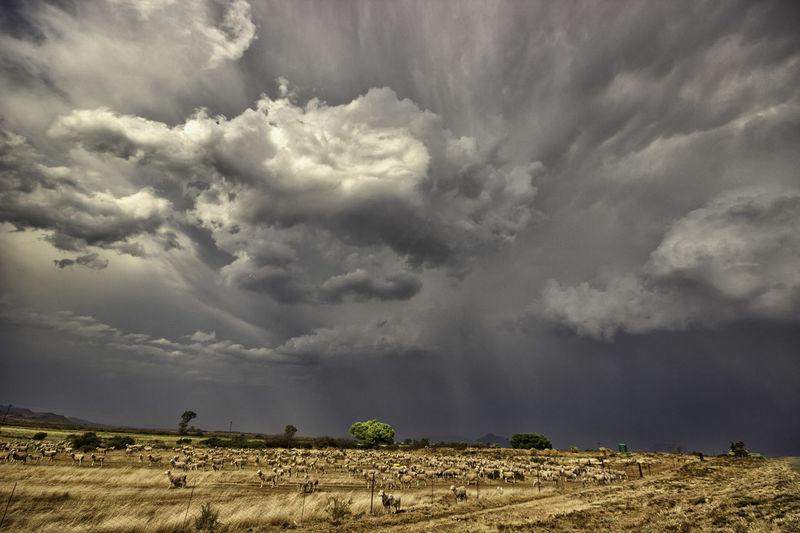 Karoo Landscapephotography Karoolife Canon600D Clouds Canonphotography Canonphotographers Canongallery Canonphotos Storm Rain Sheep Merino Merinowool MerinoStud Cloudscape Storm Clouds Eyem Best Shots EyeEmBestPics EyeEm Gallery