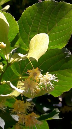 No Filter, No Edit, Just Photography Linden Tilia Ihlamur ıhlamur Leaf Yaprak Flower çiçek Bitki şifalı Canlı Heyecan Kokusu Nature's Diversities The Essence Of Summer 2016 EyeEm Awards