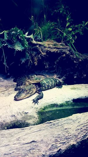 Alligator Aquarium Aquarium Photography Phone Photography AspiringPhotographer North Carolina Amateurphotography Cuddling Cutebutdangerous Entrapment