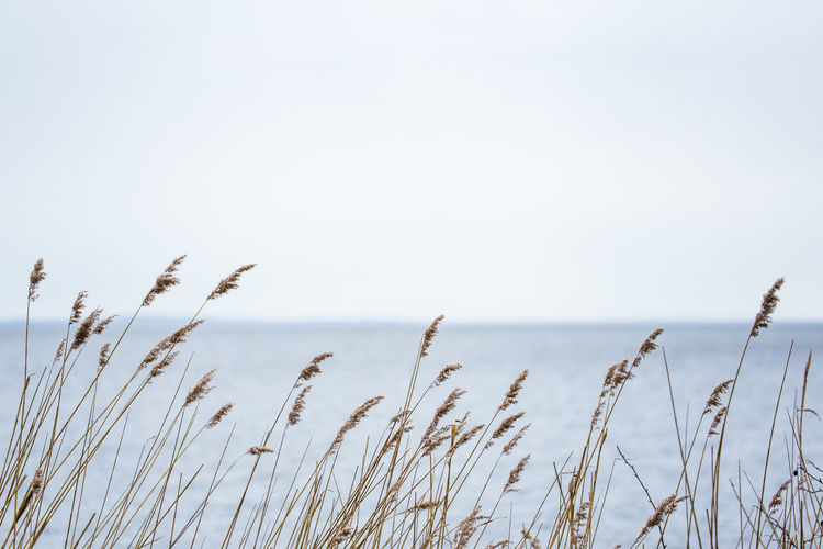 Baltic Sea Beauty In Nature Close-up Day Growth Nature No People Outdoors Plant Reed Sea Sky Timothy Grass Tranquility