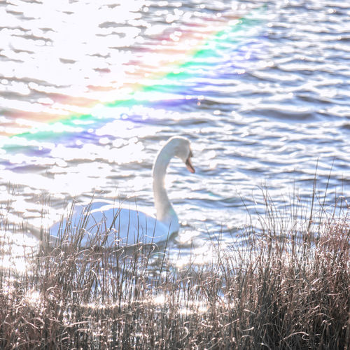 Swan lake Rainbow Nature_perfection Nature Beauty Swan Bird Flamingo Water Lake Animal Themes Water Bird White Swan Swimming Animal Wild Animal