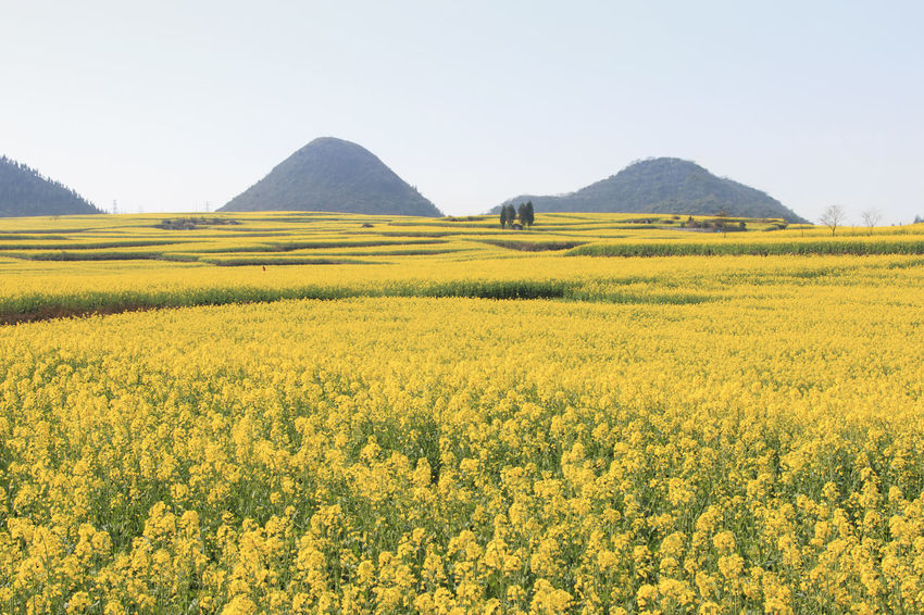 Rapeseed flowers of Luoping in Yunnan China Agriculture ASIA Beauty In Nature Bees China Field Flower Growth Honey HoneyBee Landscape Luoping Minority Oilseed Rape Rapeseed Rapeseed Blossom Rapeseed Field Rural Scene Scenics Tradition Tranquil Scene Tranquility Yellow Yunnan Yunnan ,China
