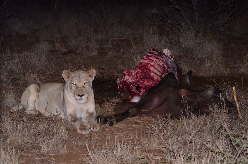 Lioness relaxing by prey in forest at night