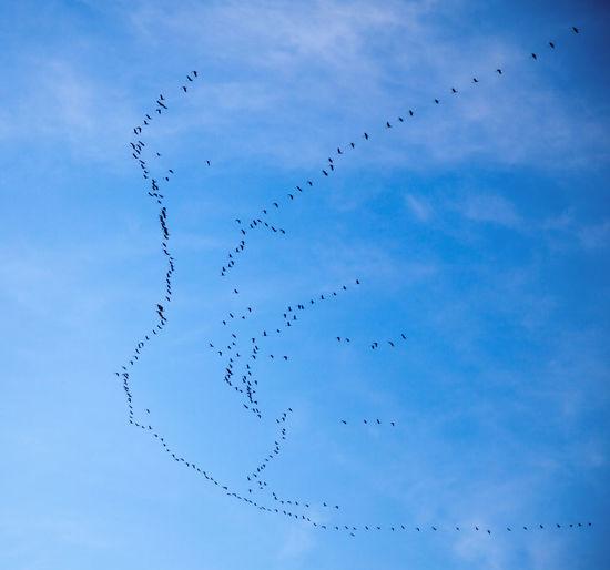 Flocks of birds flying against blue sky