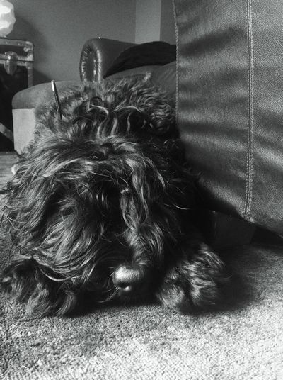 My fluffy Roxy. Dog Blackrussianterrier BRT Dog❤ Doglover Bear Fluffy