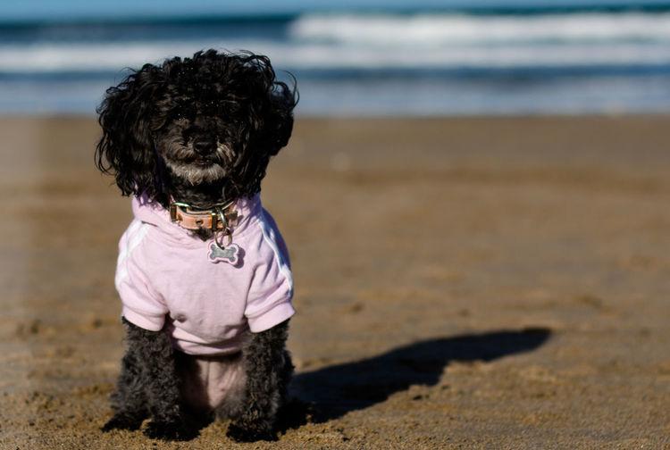 Portrait of black poodle sitting at beach