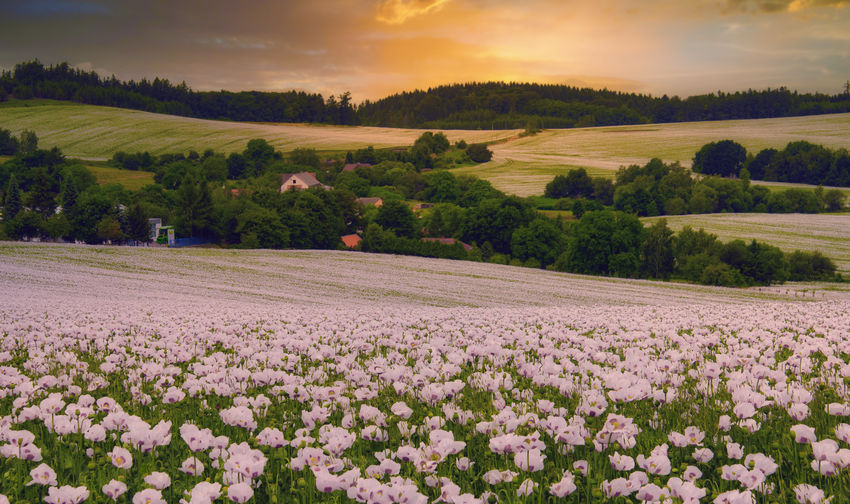 Scenic view of flowering field against sky during sunset
