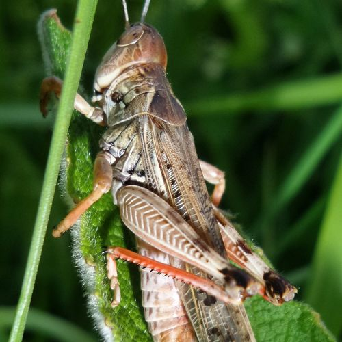 Nature дпр2016 Nature's Diversities Grass безфотошопа Природа Nature Photography природароссии Without Effects Macro Natgeo Grasshopper