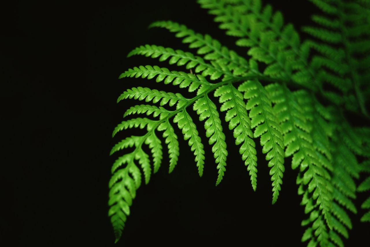 Fern Plant Against Black Background