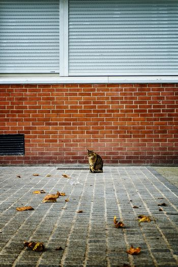 Tabby Cat Sitting On Footpath Against Building