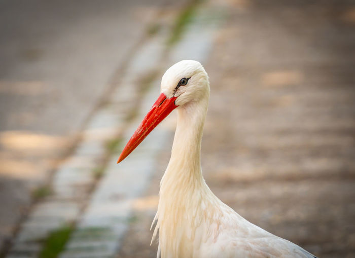 A stork portrait Animal Themes One Animal Animal Bird Vertebrate Animal Wildlife Animals In The Wild Focus On Foreground Close-up No People Day Beak White Color Animal Body Part Nature Zoology Outdoors Animal Head  Selective Focus Red Animal Neck Stork