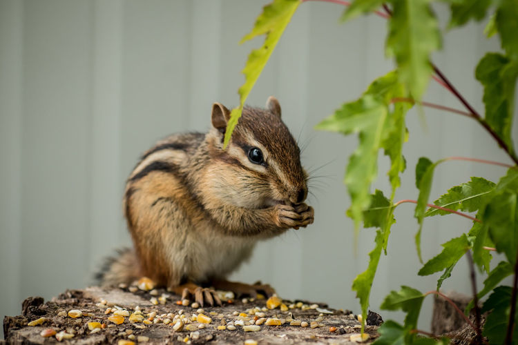 Backyard Friends Backyard Photography Cheeks Full Of Nuts Chipmunk Chipmunk Photography Chipmunks  Close-up Cute Day Eating Furry Friends Gathering Macro Macro Photography Nature No People Northwestern Ontario Ontario, Canada Rodent Summertime Tame The Week On EyeEm Whisker Wildlife Wildlife Photography Showcase June