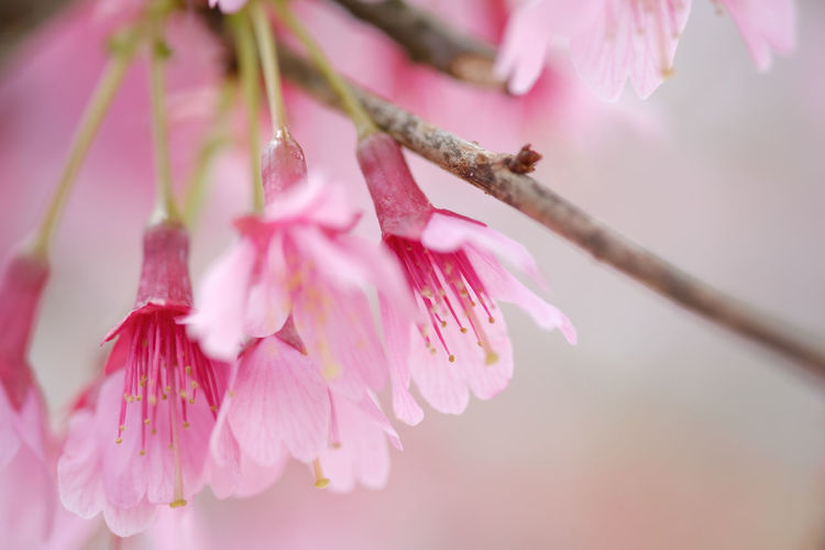 Pink and Pale Pink Cherry Blossoms in full bloom and colors Cherry Blossoms Horizontal Images Beauty In Nature Blossom Cherry Blossom Close-up Flowering Plant Fragility Freshness Growth Outdoors Pale Pink Blooms Petal Pink Color Selective Focus Softness Spring Springtime