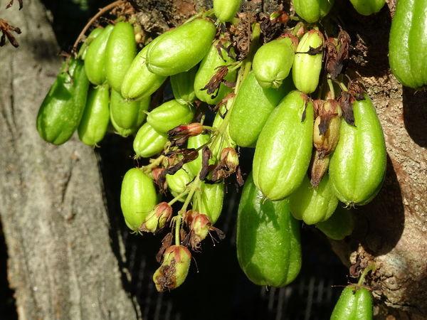 Bilimbi Bilimbi Fruit Vegetable Close-up Green Color Plant Food And Drink