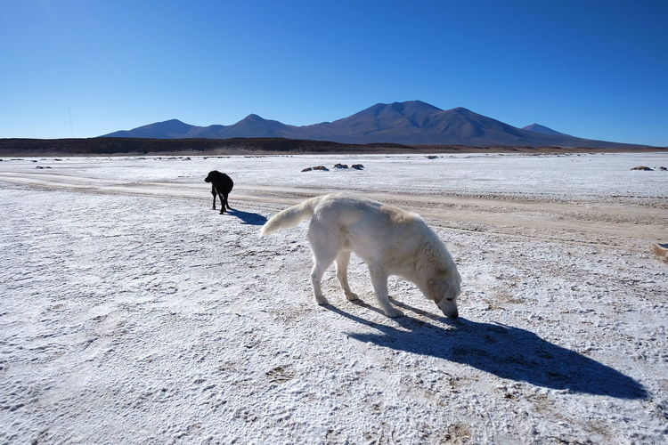 Dogs at a salt flat No People Adventure Blue Sky Bolivia Sunny Salt Flat Mammal One Animal Sand Pets Landscape Mountain Desert Outdoors Animal Wildlife Sky Day Animals In The Wild