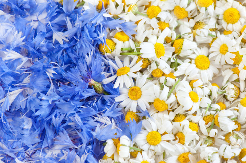 Blue cornflower and white chamomile flower heads, many flowers abstracts. Petals preparing for tea healthy drink. Bachelor Buttons Blooming Blue BlueBottle Boutonniere Camomiles Chamomile Chamomiles Cornflower Cornflowers Flower Flower Head Flowers Hurtsickle Matricaria Matricaria Chamomilla Mayweed Mayweed Flower Nature No People Petal Petals Plants Weed Yellow