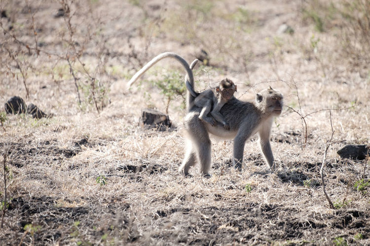 Adult monkey in the baluran national park Animal Animal Family Animal Themes Animal Wildlife Animals In The Wild Baboon Day Field Group Of Animals Land Mammal Nature No People Outdoors Plant Safari Two Animals Vertebrate Young Animal