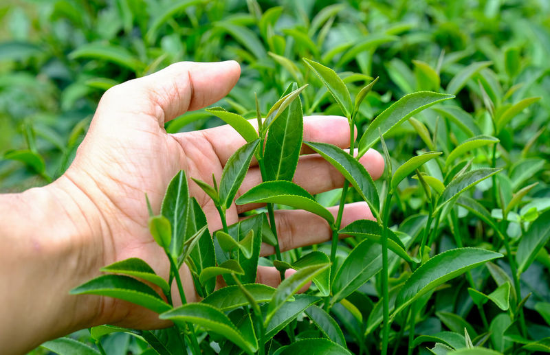 Close-up of cropped hand touching leaves