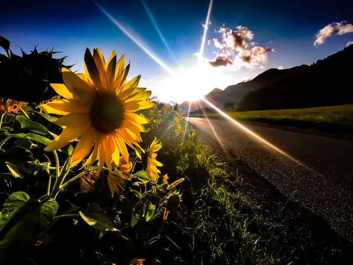 Scenic view of sunflower on field against bright sun