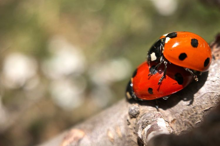 Animal Themes Animal Wildlife Animal Animals In The Wild One Animal Invertebrate Insect Ladybug Spotted Beetle Focus On Foreground Day Close-up No People Animal Markings Nature Outdoors Red Orange Color Natural Pattern