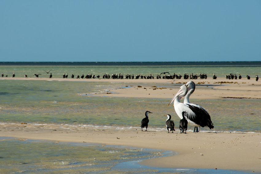 Pied Cormorants & Pelicans Australia Animal Wildlife Bird Monkey Mia Pelican Pied Cormorant