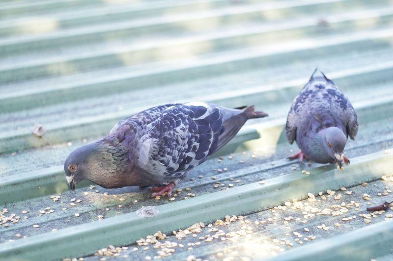 Close-up of ducks feeding