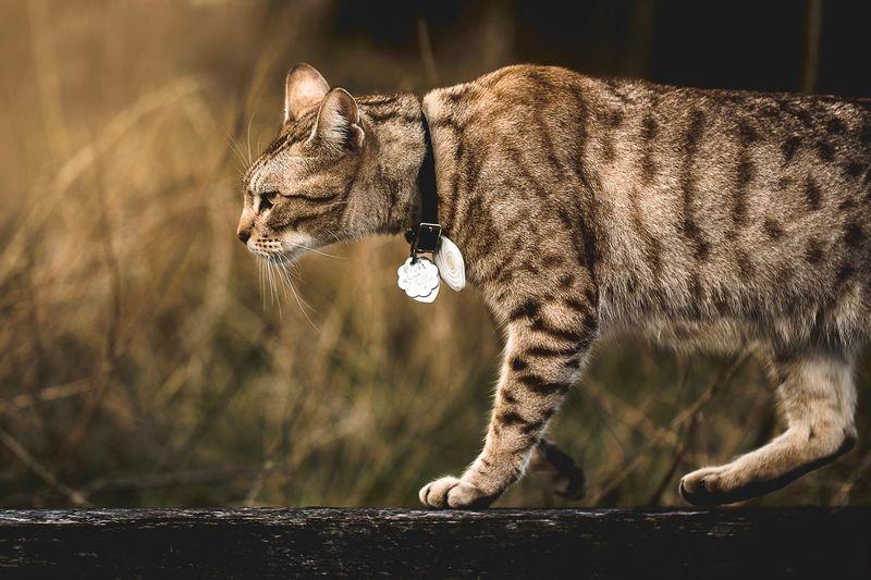 Cat or tiger ??