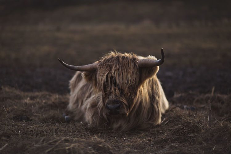 Scottish Highland cattle in Bavaria, Germany Agriculture Cattle Ranch Farm Farm Life Pasture Schottische Hochlandrinder Scottish Highland Cattle Scottish Highland Cow Viehweide Viehwirtschaft Cattle Herd Cattle Herding Landwirtschaft Pasturage Schottisches Hochlandrind