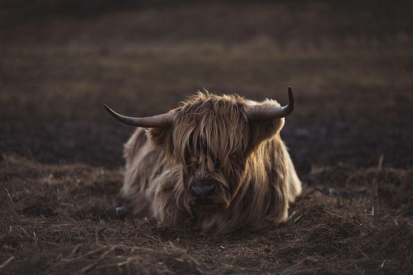 Scottish Highland cattle in Bavaria, Germany Agriculture Cattle Ranch Farm Farm Life Pasture Schottische Hochlandrinder Scottish Highland Cattle Scottish Highland Cow Viehweide Viehwirtschaft Cattle Herd Cattle Herding Landwirtschaft Pasturage Schottisches Hochlandrind